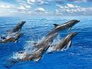 Thích thú ngắm cá heo ngụp lặn trên mặt biển Maldives